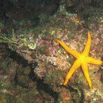 stella arancio 15 150x150 Hacelia attenuata   Stella arancio