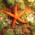 stella arancio 16 150x150 Hacelia attenuata   Stella arancio