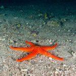 stella arancio 18 150x150 Hacelia attenuata   Stella arancio