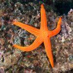 stella arancio 19 150x150 Hacelia attenuata   Stella arancio