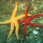 stella arancio 22 150x150 Hacelia attenuata   Stella arancio
