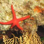 stella arancio 26 150x150 Hacelia attenuata   Stella arancio