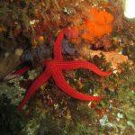 stella arancio 27 150x150 Hacelia attenuata   Stella arancio