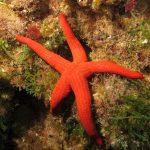 stella arancio 28 150x150 Hacelia attenuata   Stella arancio