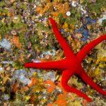 stella arancio 30 150x150 Hacelia attenuata   Stella arancio