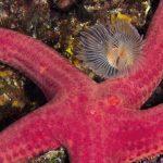stella arancio 31 150x150 Hacelia attenuata   Stella arancio