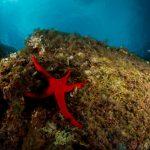 stella arancio 39 150x150 Hacelia attenuata   Stella arancio