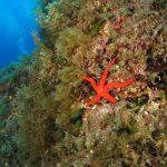 stella arancio 40 150x150 Hacelia attenuata   Stella arancio