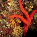 stella arancio 45 150x150 Hacelia attenuata   Stella arancio