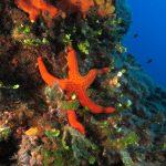 stella arancio 56 150x150 Hacelia attenuata   Stella arancio
