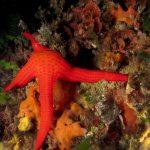 stella arancio 61 150x150 Hacelia attenuata   Stella arancio