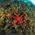 stella arancio 64 150x150 Hacelia attenuata   Stella arancio