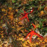 stella arancio 66 150x150 Hacelia attenuata   Stella arancio