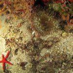 stella arancio 71 150x150 Hacelia attenuata   Stella arancio
