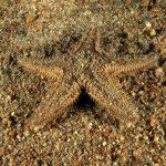 stella doppie spine 02 150x150 Astropecten bispinosus, Stella pettine doppie spine