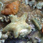 stella grassa 02 150x150 Asterina gibbosa   Stella grassa