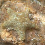 stella grassa 03 150x150 Asterina gibbosa   Stella grassa