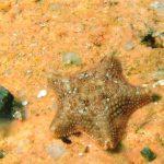 stella grassa 05 150x150 Asterina gibbosa   Stella grassa