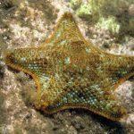 stella grassa 13 150x150 Asterina gibbosa   Stella grassa
