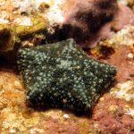 stella grassa 18 150x150 Asterina gibbosa   Stella grassa