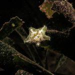 stella grassa 20 150x150 Asterina gibbosa   Stella grassa