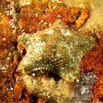 stella grassa 30 150x150 Asterina gibbosa   Stella grassa