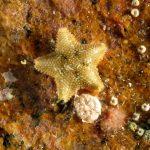 stella grassa 31 150x150 Asterina gibbosa   Stella grassa