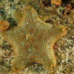 stella grassa 32 150x150 Asterina gibbosa   Stella grassa