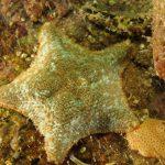 stella grassa 33 150x150 Asterina gibbosa   Stella grassa
