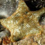 stella grassa 52 150x150 Asterina gibbosa   Stella grassa