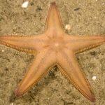stella irregolare comune 06 150x150 Stella irregolare comune