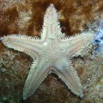 stella irregolare comune 11 150x150 Stella irregolare comune