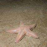 stella irregolare comune 15 150x150 Stella irregolare comune