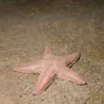 stella irregolare comune 20 150x150 Stella irregolare comune