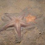 stella irregolare comune 21 150x150 Stella irregolare comune