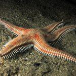 stella pettine doppie spine 12 150x150 Astropecten bispinosus, Stella pettine doppie spine