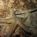stella platiacanto 09 150x150 Stella platiacanto