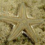 stella-platiacanto-05