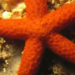 stella rossa 01 150x150 Echinaster sepositus   Stella rossa