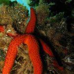 stella rossa 09 150x150 Echinaster sepositus   Stella rossa
