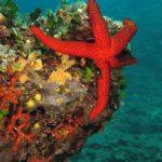 stella rossa 111 150x150 Echinaster sepositus   Stella rossa
