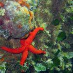 stella rossa 13 150x150 Echinaster sepositus   Stella rossa