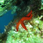 stella rossa 18 150x150 Echinaster sepositus   Stella rossa
