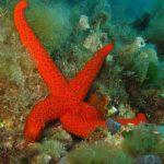 stella rossa 19 150x150 Echinaster sepositus   Stella rossa