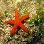 stella rossa 20 150x150 Echinaster sepositus   Stella rossa