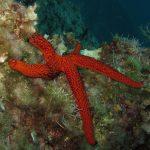 stella rossa 25 150x150 Echinaster sepositus   Stella rossa