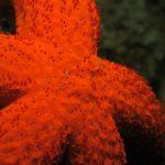 stella rossa 26 150x150 Echinaster sepositus   Stella rossa
