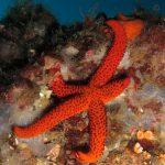 stella rossa 32 150x150 Echinaster sepositus   Stella rossa