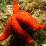 stella rossa 36 150x150 Echinaster sepositus   Stella rossa