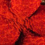 stella rossa 42 150x150 Echinaster sepositus   Stella rossa